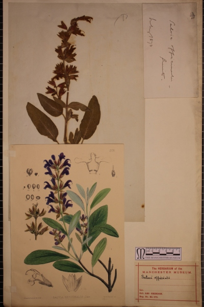 Common sage specimen, seeds and illustration on a 19th century herbarium sheet from Leo Grindon's cultivated plant collection